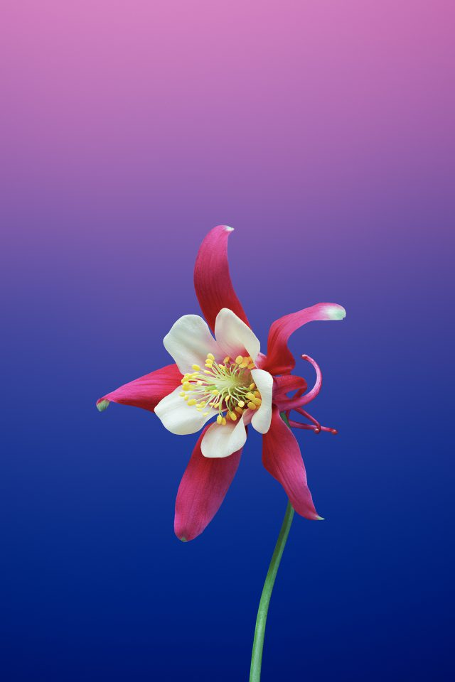 Flower AQUILEGIA IPhone 7 Wallpaper