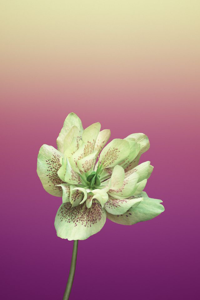 Flower HELLEBORUS IPhone 7 Wallpaper