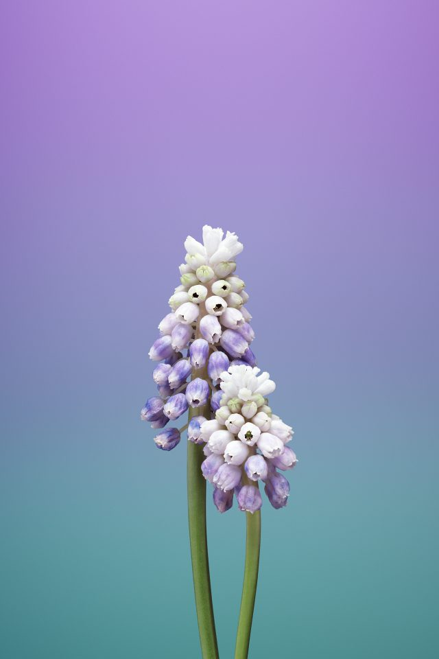 Flower MUSCARI iPhone wallpaper